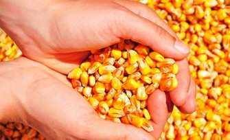 O preço alto do milho já afeta criação de aves e suínos na microrregião