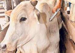 No Rio Grande do Sul devem ser vacinados bovinos e búfalos com até 24 meses