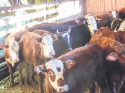 Bovinicultores estão cientes de que a lucratividade com o gado de corte não é uma das melhores